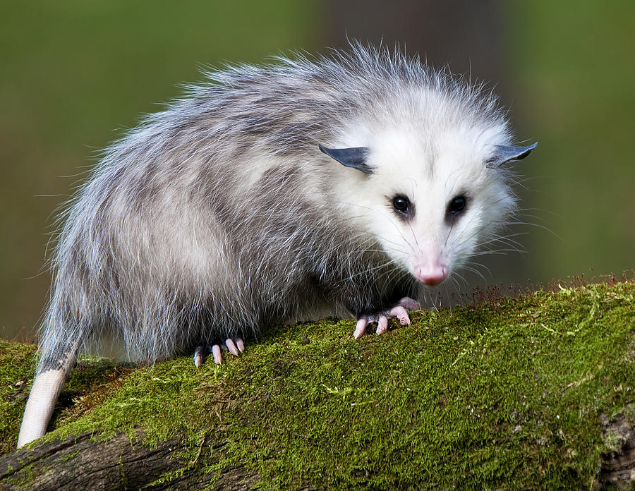 Opossum  Photograph