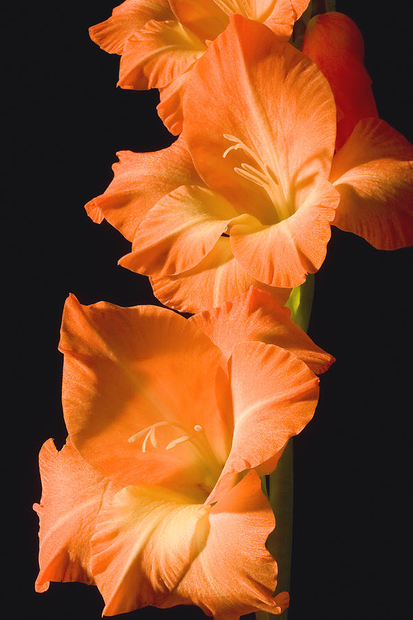 Orange Gladiolus Flower Photograph By Keith Webber Jr