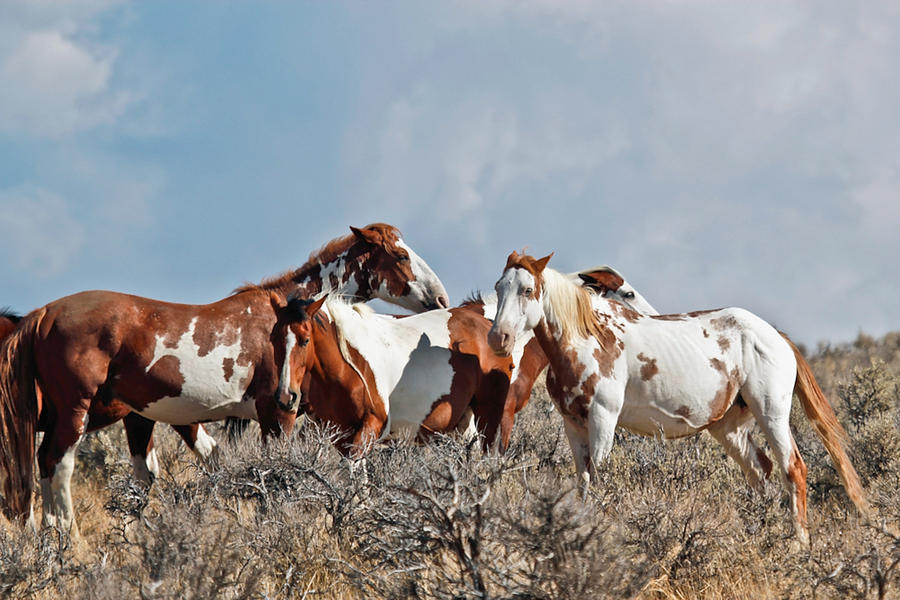 Oregons Wild Horses Photograph