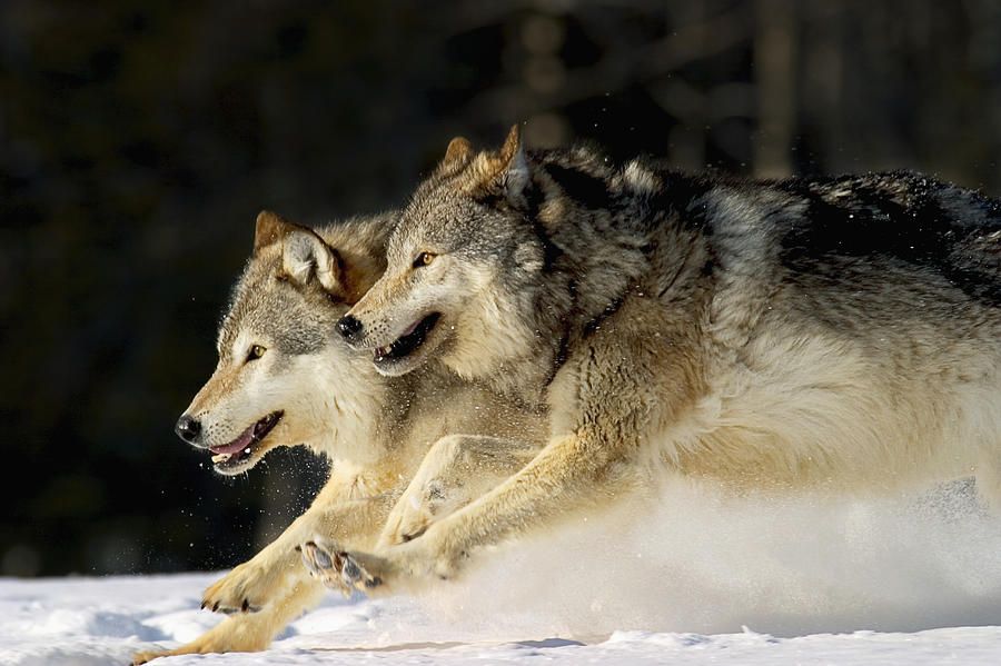 Pack Of Grey Wolves Running Through is a photograph by John Hyde which ...