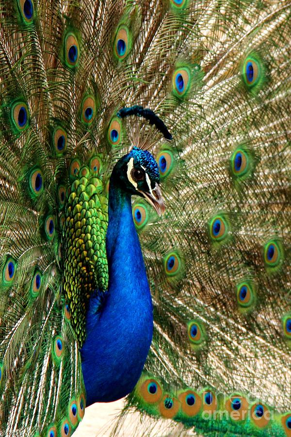 Peacock Splendor Photograph