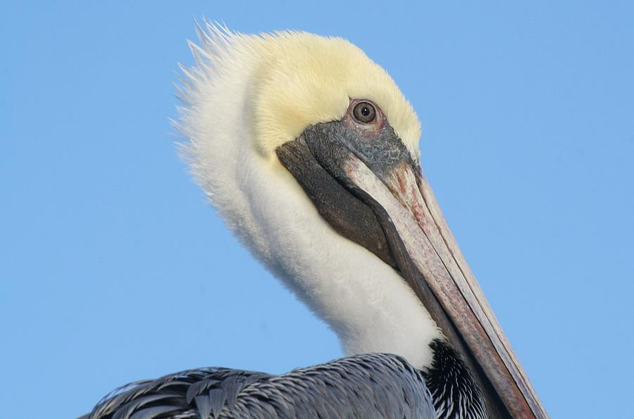 Pelican Photograph - Pelican Up Close  by Paulette Thomas