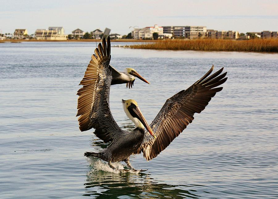 Pelicans Flying Through The Marsh Photograph