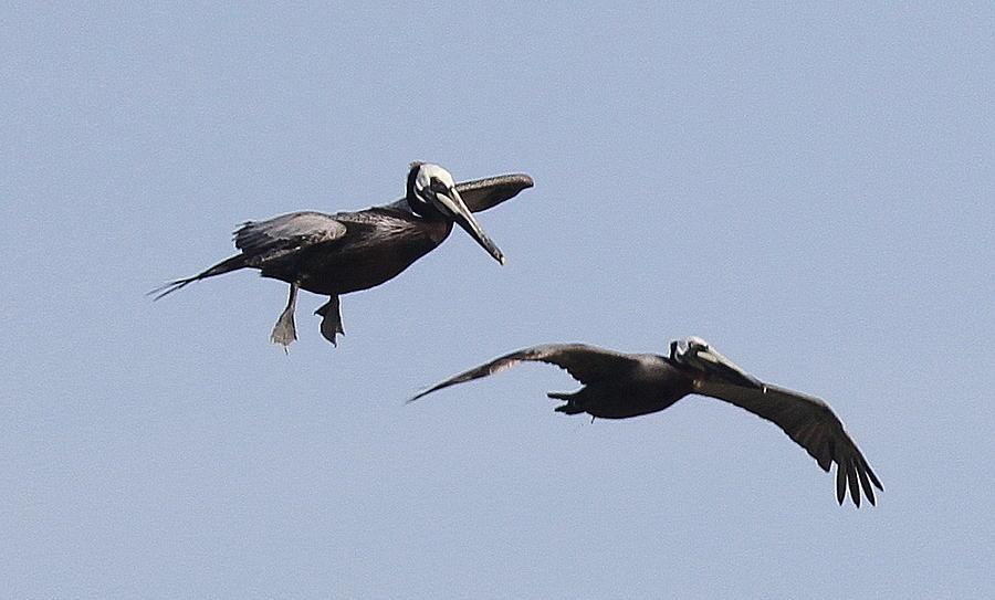 Pelicans In Flight 2 Photograph