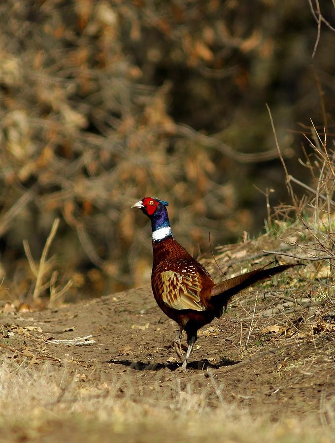 Pheasan Photograph