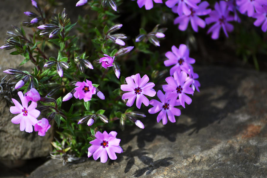 Phlox Photograph  - Phlox Fine Art Print