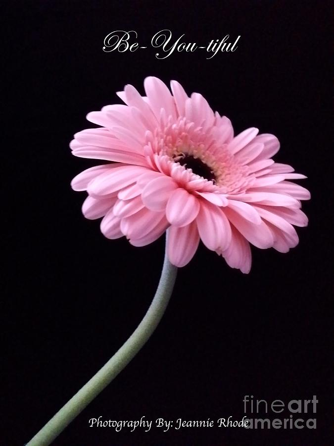 Pink Gerber Daisy Photograph