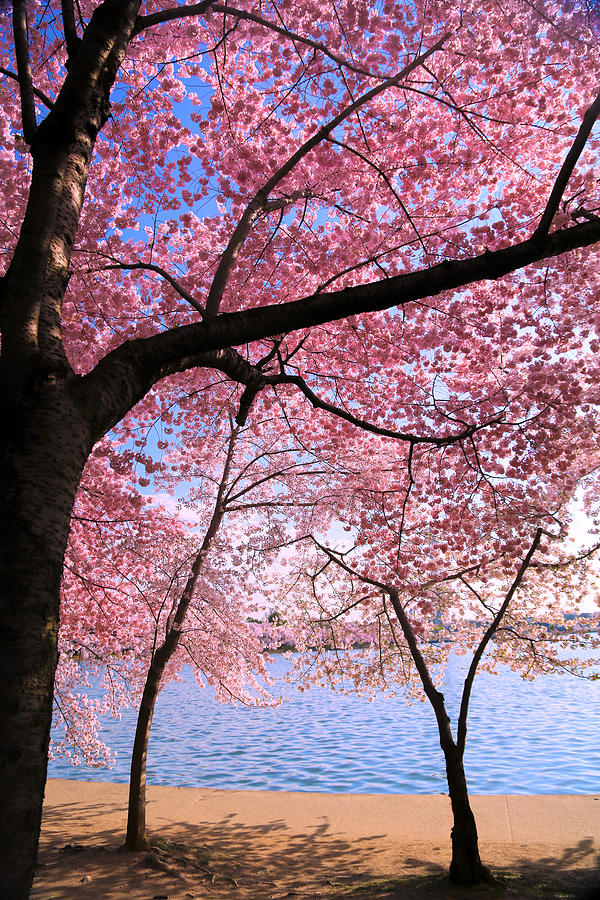 Cherry Blossoms Photograph - Pink by Mitch Cat