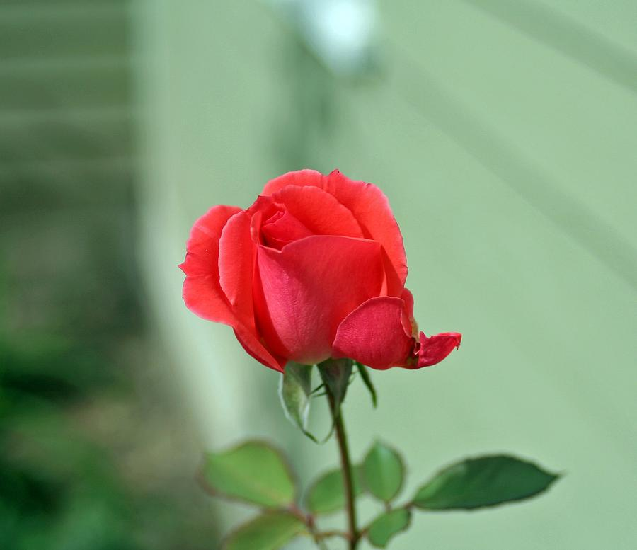 Pink Rose.wall Artscenery Photograph - Pink Rose by Larry Stolle
