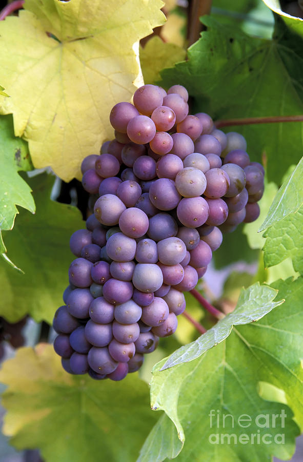Pinot Gris Grapes Photograph