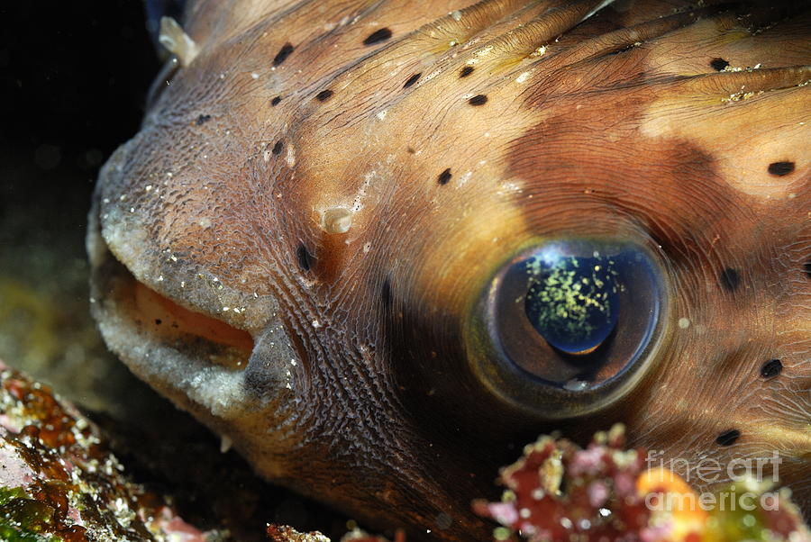Beauty In Nature Photograph - Porcupine Fish by Sami Sarkis