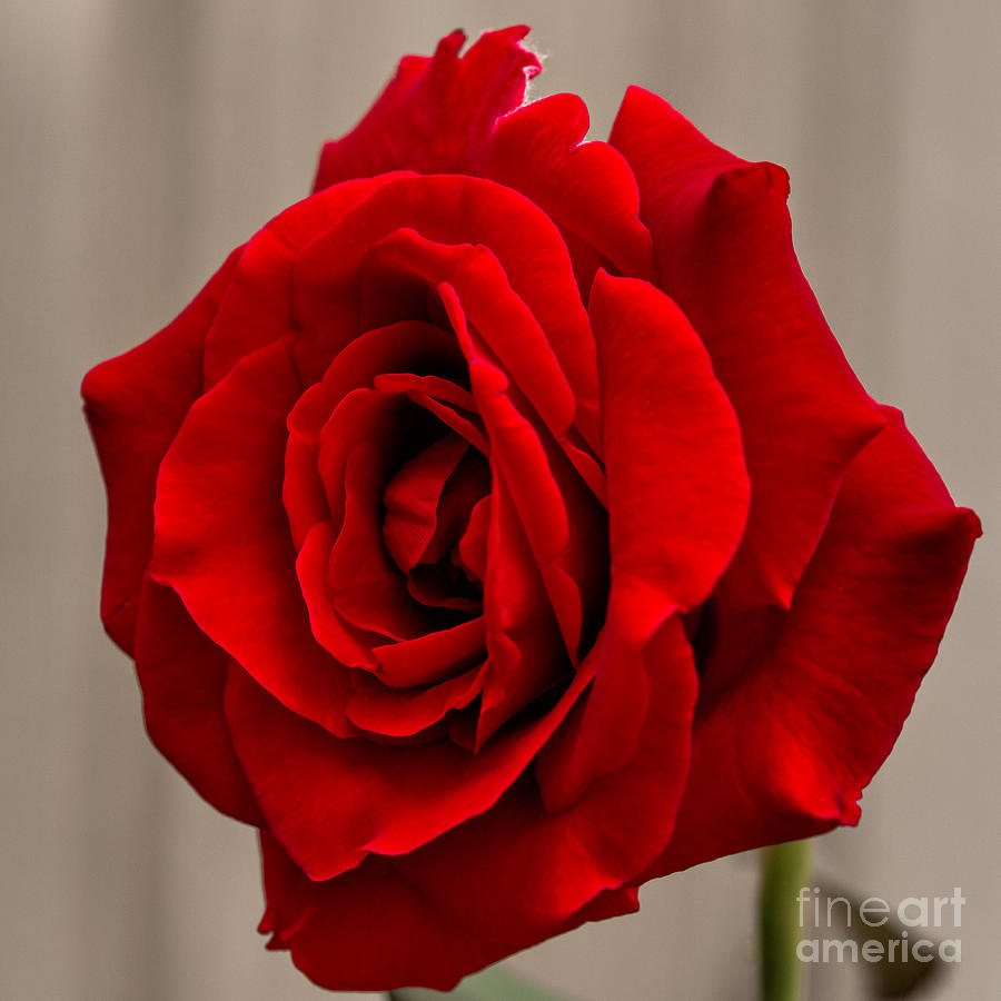 Portrait Of A Rose Photograph  - Portrait Of A Rose Fine Art Print