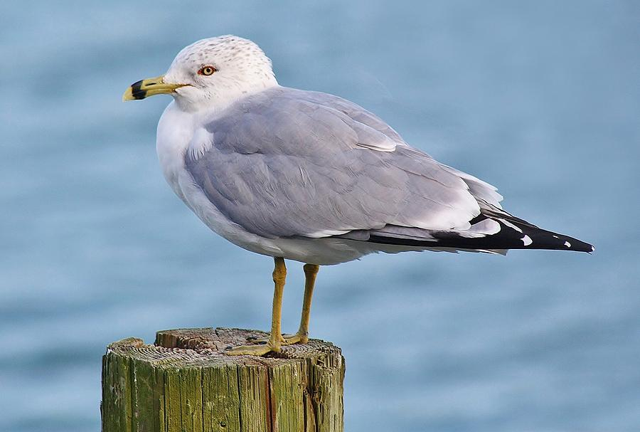Pretty Sea Gull Photograph  - Pretty Sea Gull Fine Art Print
