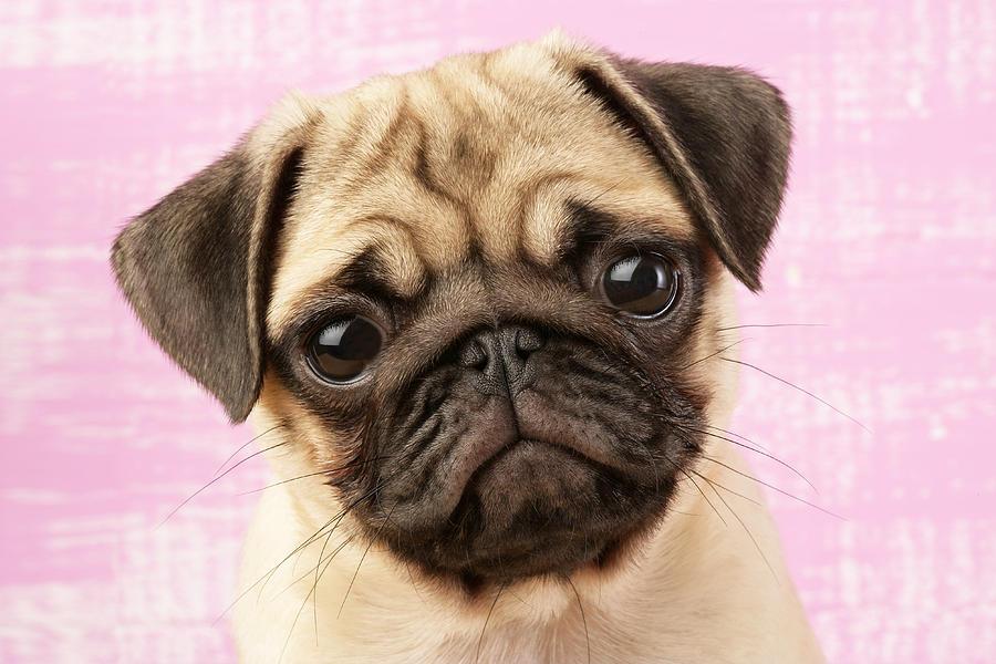 Pug Portrait Photograph