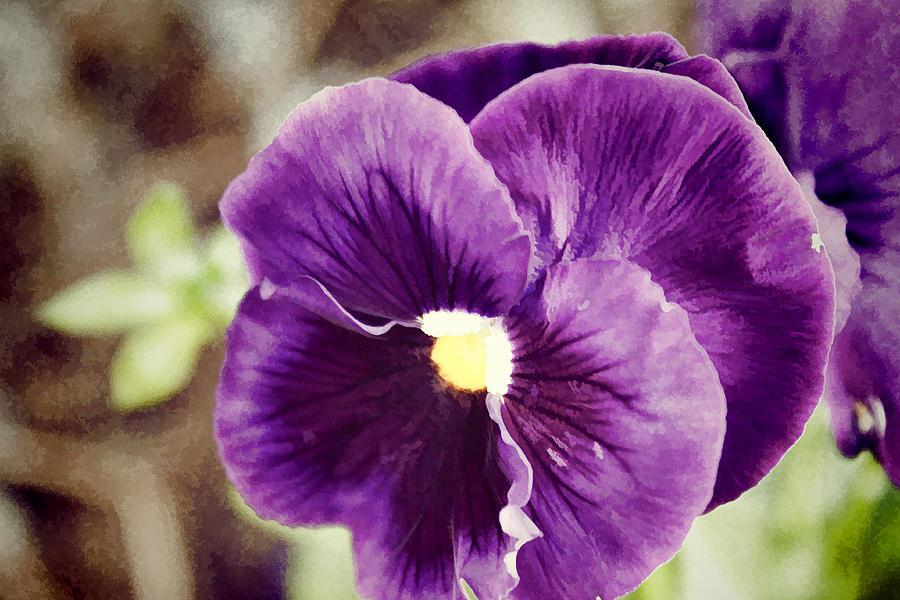 Purple Pansy Photograph