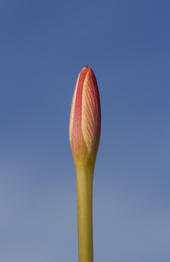 Rain-lily Bud by Steven Schwartzman