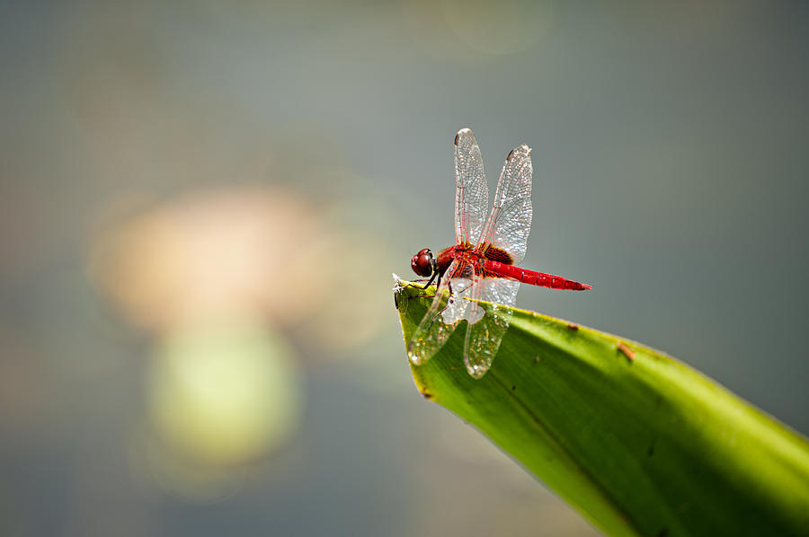 Lightweight Photograph - Red Dragonfly by Ulrich Schade