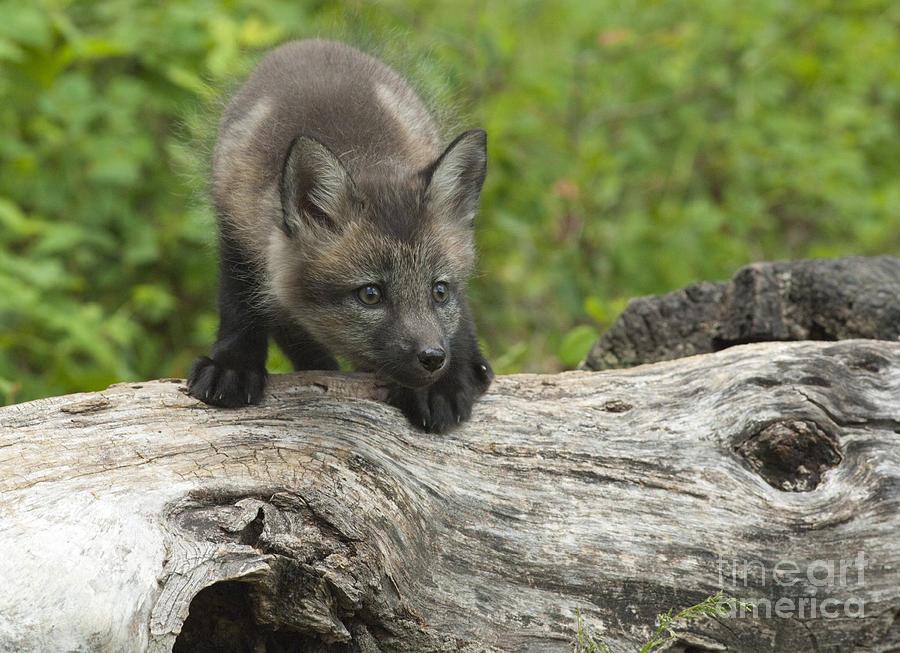 Red Fox Kit Photograph