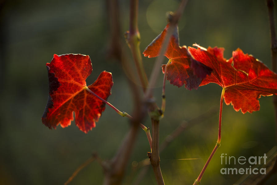 Red Grape Leaves Photograph