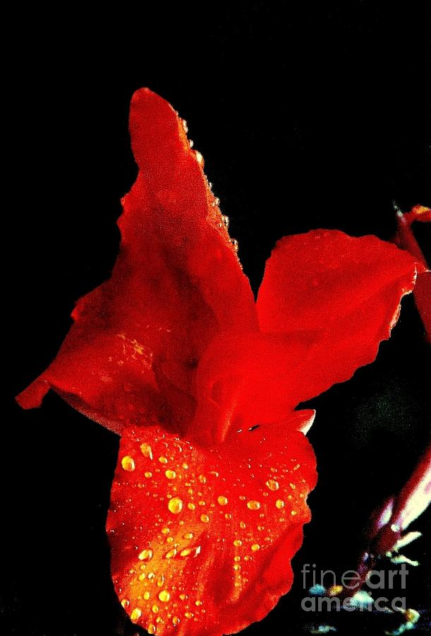 Red Hot Canna Lilly Photograph  - Red Hot Canna Lilly Fine Art Print