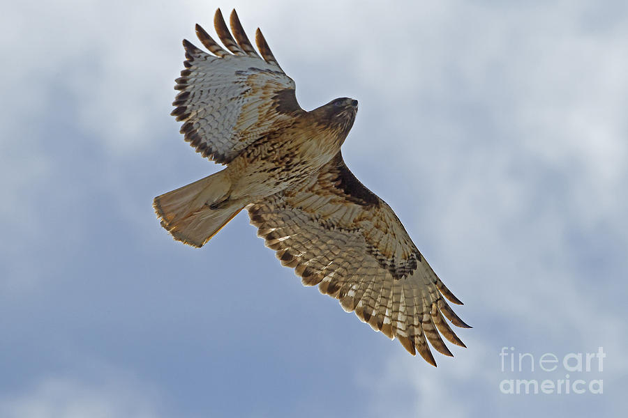 Bird Photograph - Red-tail Hawk #3094 by J L Woody Wooden