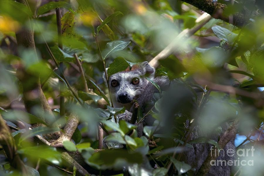 Ringtailed Lemur  Lemur catta  Mammals  Its Nature