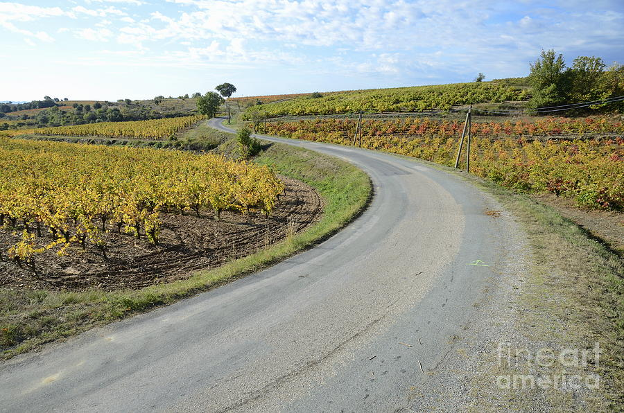 Road By Vineyards With Fall Foliage Photograph  - Road By Vineyards With Fall Foliage Fine Art Print