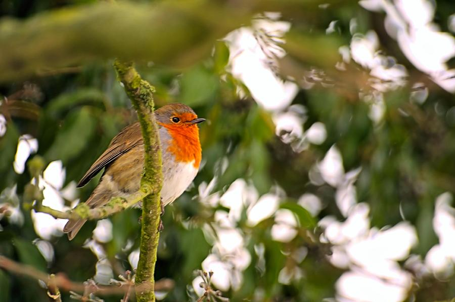Robin Photograph