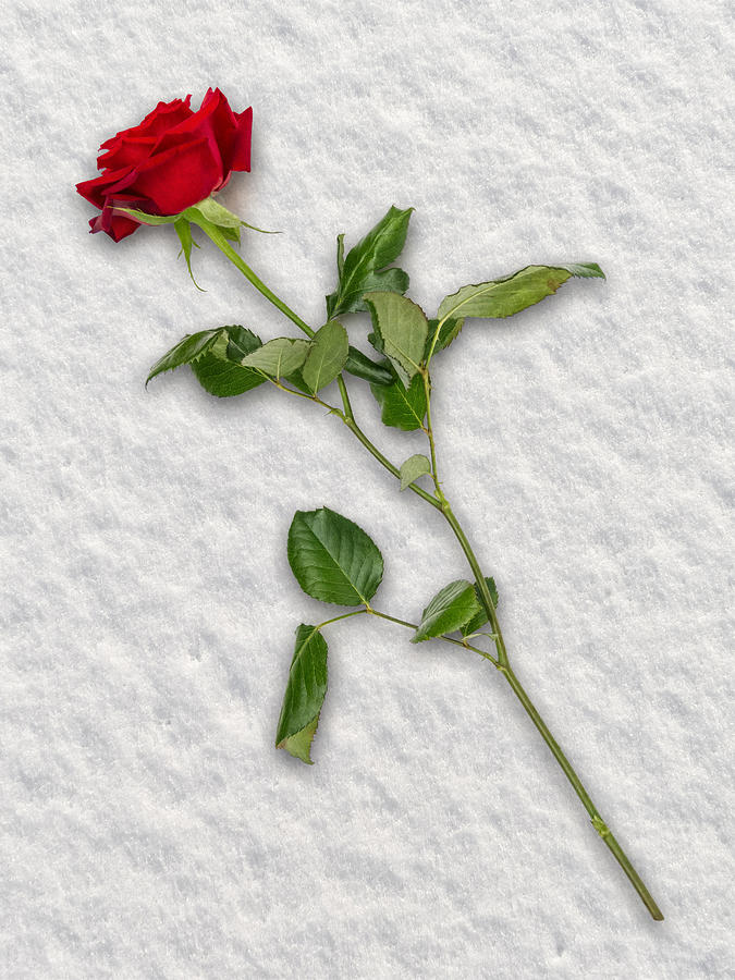 Rose In Snow Photograph
