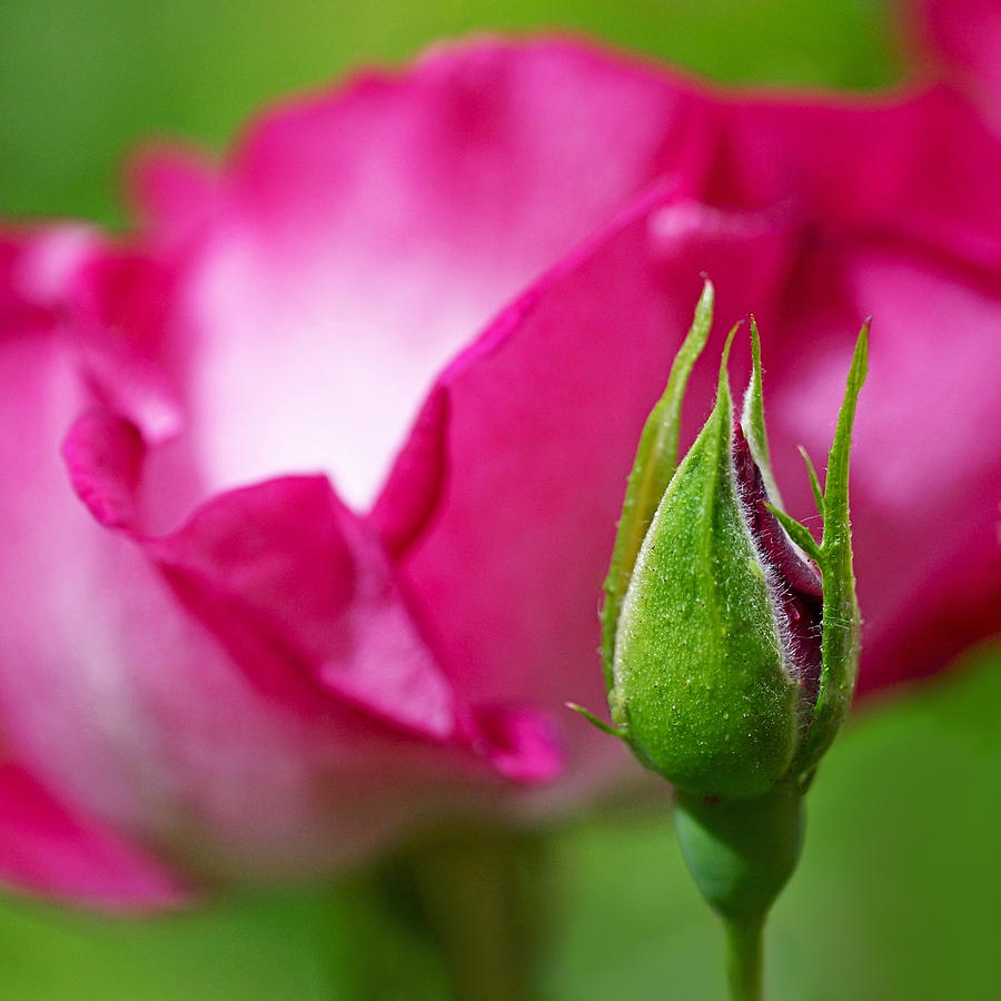 Rosebud Photograph