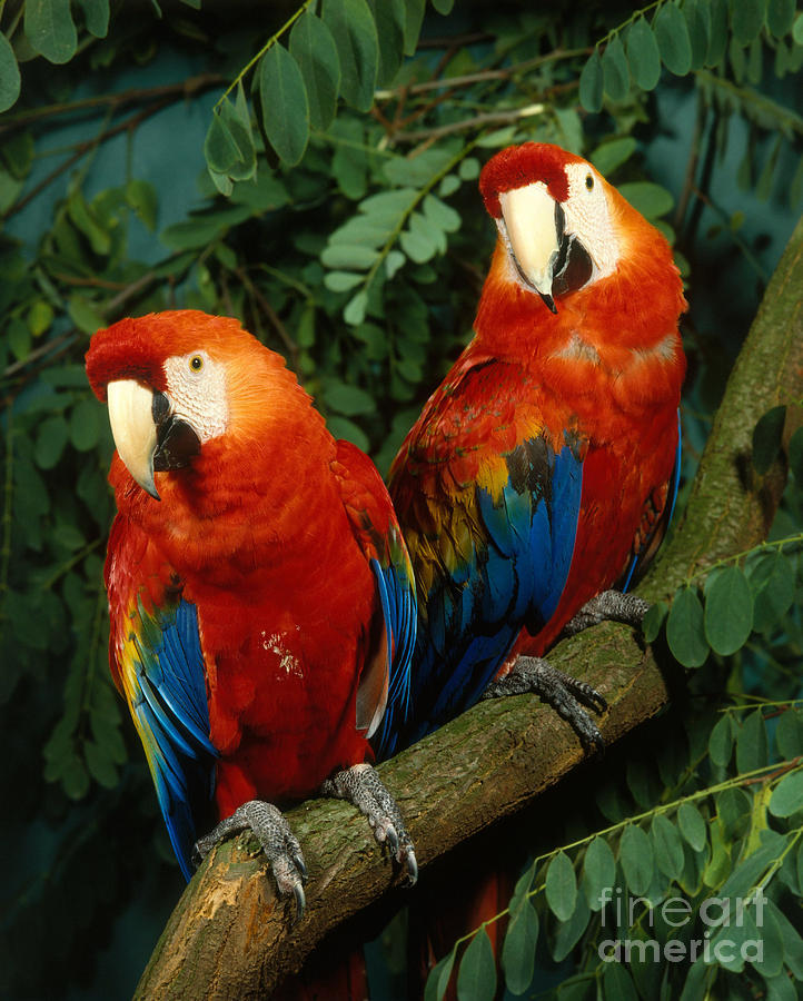 Scarlet Macaw Photograph - Scarlet Macaw by Hans Reinhard