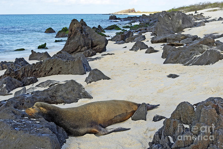 Sea Lion Sleeping On Beach Photograph