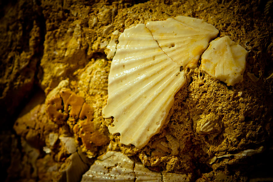 Seashell In Stone Photograph  - Seashell In Stone Fine Art Print