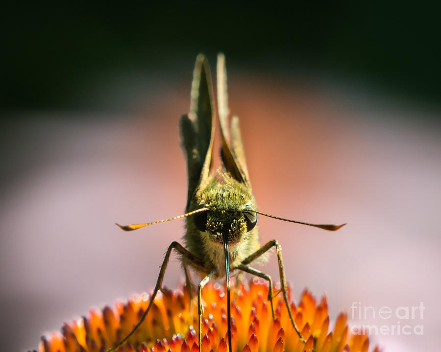 Skipper On Coneflower II Photograph