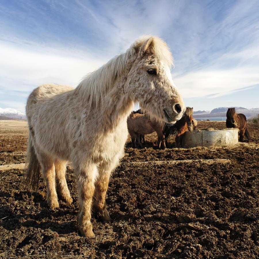 Smiling Icelandic Horse Pastel