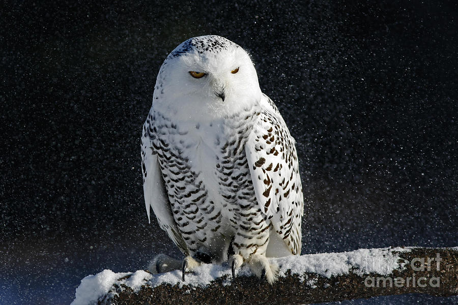 Snowy Owl On A Twilight Winter Night Photograph  - Snowy Owl On A Twilight Winter Night Fine Art Print