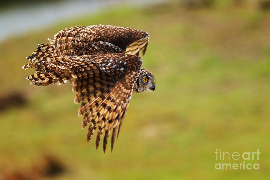 Spotted Eagle Owl In Flight Photograph