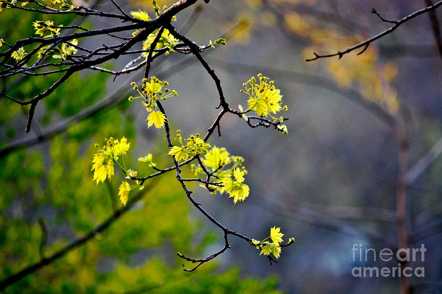 Spring Leaves Photograph  - Spring Leaves Fine Art Print