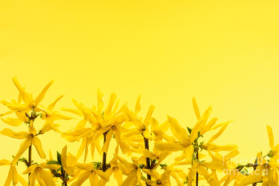 Spring Yellow Forsythia Photograph