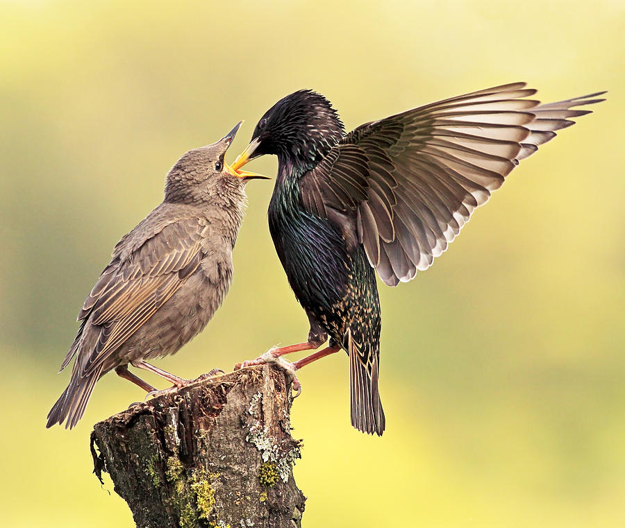 Starlings Photograph