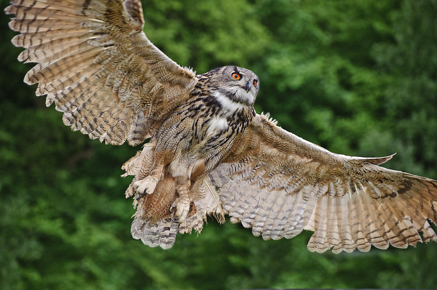 European Eagle Owl Photograph - Stunning European Eagle Owl In Flight by Matthew Gibson