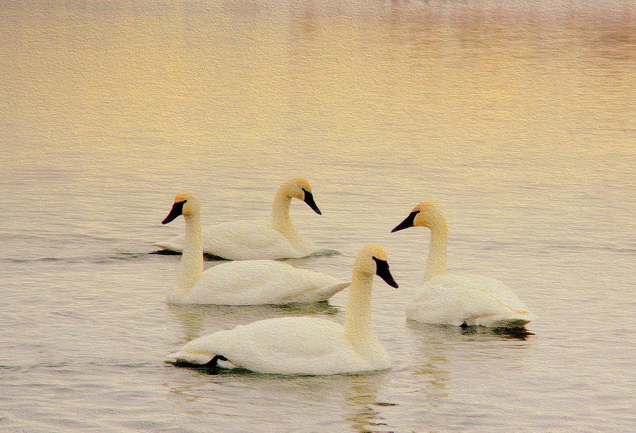 Swan Dance Photograph