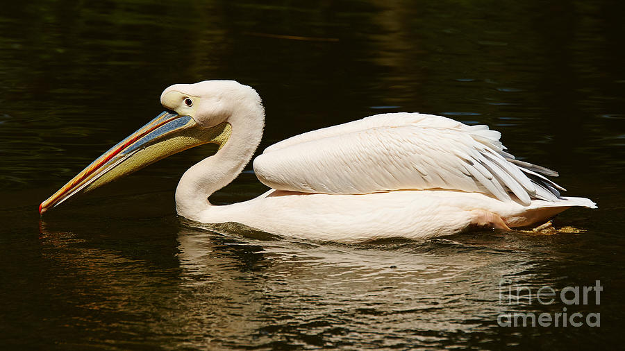 Swimming Pink Pelican Photograph