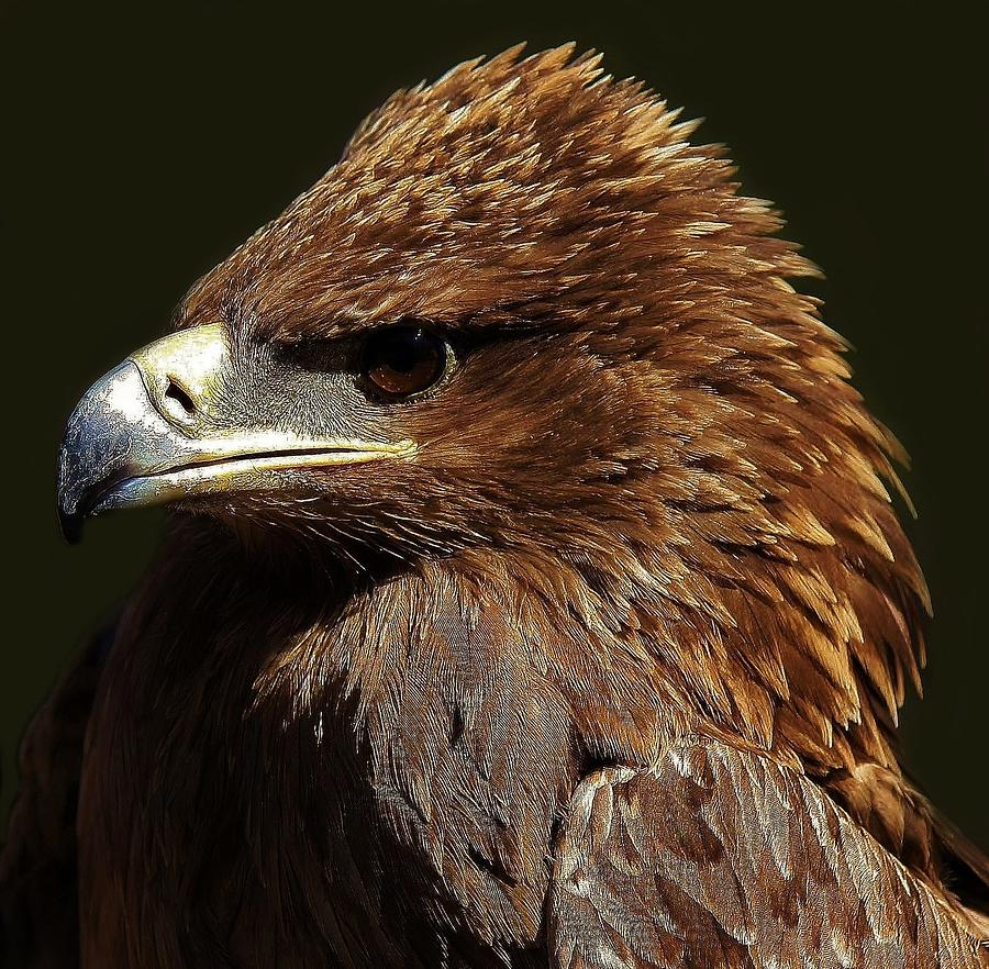 Tawny Eagle Photograph