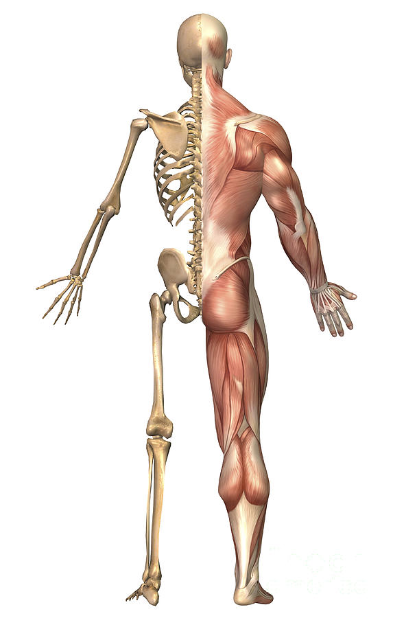 The Human Skeleton And Muscular System Digital Art
