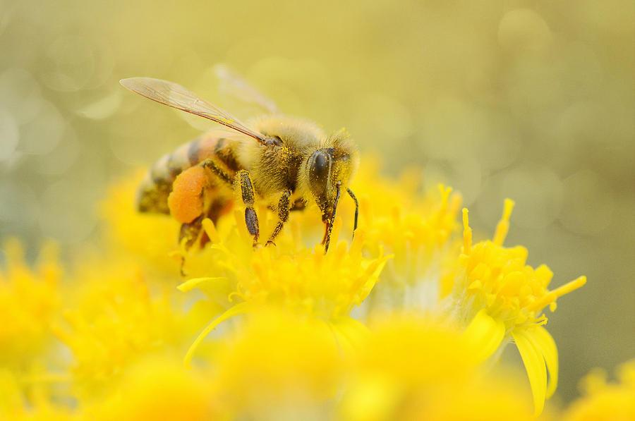 Honey Bee Photograph - The Pollinator by Fraida Gutovich