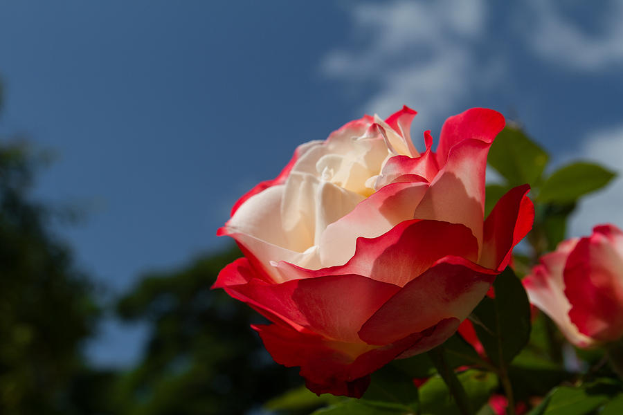 The Rose Photograph  - The Rose Fine Art Print