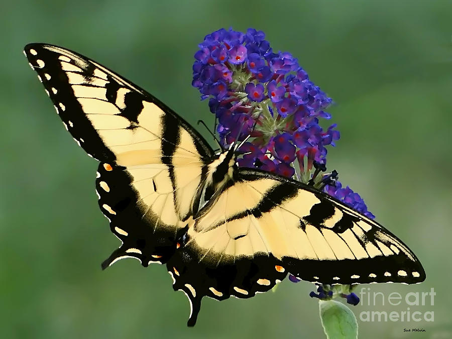 The Swallowtail Photograph  - The Swallowtail Fine Art Print