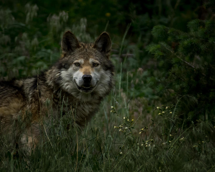 The Wolf Photograph  - The Wolf Fine Art Print