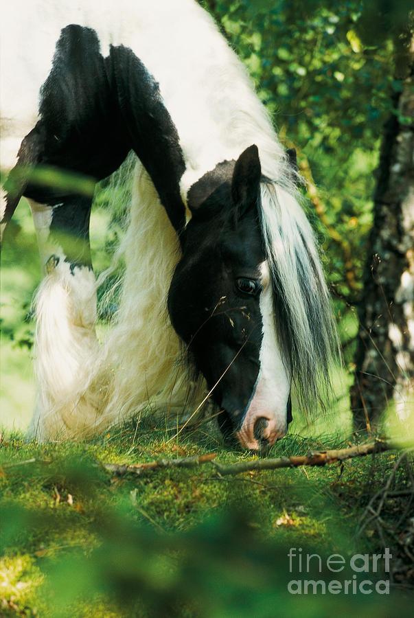 tinker horse photograph by gabriele boiselle. Black Bedroom Furniture Sets. Home Design Ideas